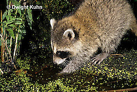 MA25-168z  Raccoon - young raccoon washing food at pond - Procyon lotor