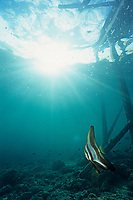 Tall-fin batfish, Longtail batfish, Platax teira, Sipadan Island, Borneo, Malaysia, Pacific Ocean