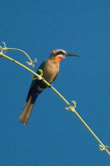 White-fronted Bee Eater, South Luangwa National Park