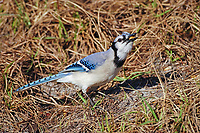 blue jay, Cyanocitta cristata, adult eating nut, Florida, USA, North America
