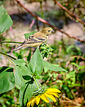 Immature Goldfinch. Image taken with a Fuji X-T3 camera and 200 mm f/2 OIS lens