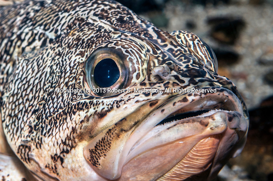 Blackbelly Rosefish close-up of face