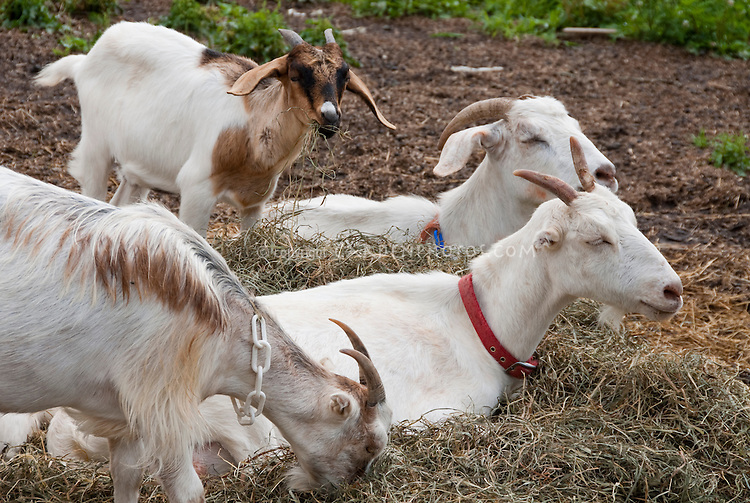 Goats, four, with ID collars in straw