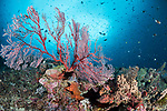 Florida Islands, Solomon Islands;  a red, soft coral sea fan growing on the reef, with an aggregation of anthias and chromis fish in the background