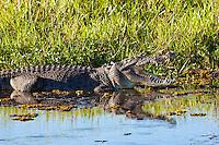 Estuarine Crocodile, Yellow Water, Kakadu NP, NT, Australia