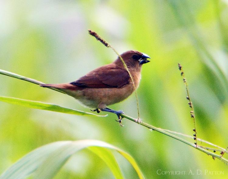 Immature nutmeg mannikin feeding on grass seeds, an introduced species