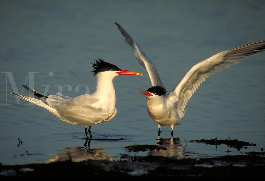 Elegant Terns, courtship display. Birds - Courtship. California.