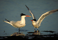 Elegant Terns, courtship display. Birds - Courtship. California.