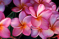 An array of light pink plumeria blossoms (Frangipani apocynaceae)