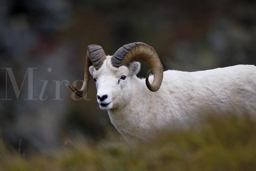 Dall sheep ram in fall. Alaska USA Denali National Park.