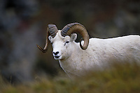Dall sheep ram in fall. Alaska USA Denali National Park.
