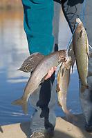 Sport fishing catch of Arctic Grayling on the Kanuti river in interior Alaska.