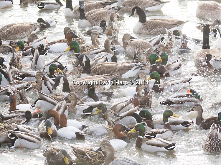 Canvasbacks, scaups, mallards and Canada geese enjoy a feeding frenzy from corn tossed by photographers in the Choptank River at Cambridge