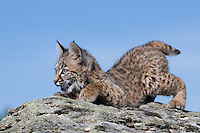 Playful Bobcat kitten on top of a rocky hill near Kalispell, Montana, USA - Captive Animal