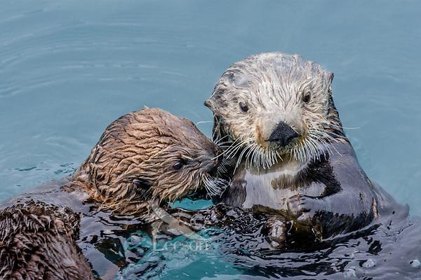 Sea Otter (Enhydra lutris) mom with pup.  Prince William Sound, Alaska.  Spring.
