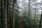 Coast Redwood (Sequoia sempervirens) forest in fog, Santa Cruz, Monterey Bay, California