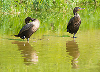 Two Neotropic Cormorants, Phalacrocorax brasilianus, stand in shallow water in the Riparian Preserve at Water Ranch, Gilbert, Arizona