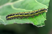 Caterpillar of the Cabbage white butterfly (Pieris rapae) on cabbage....Copyright..John Eveson, Dinkling Green Farm, Whitewell, Clitheroe, Lancashire. BB7 3BN.01995 61280. 07973 482705.j.r.eveson@btinternet.com.www.johneveson.com