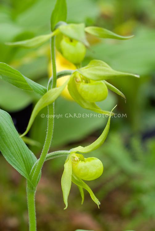 Cypripedium parviflorum Native American ladyslipper Orchid in flower closeup