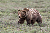 Here She Comes. My heart pounds during such moments. Can't get enough of this beautiful grizzly. There's just something special about 399.