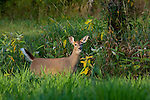 White-tailed yearling