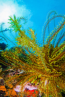 camouflage, Harlequin Ghost Pipefish, Solenostomus paradoxus, in yellow Featherstar, TARP, Sabah, Malaysia, Pacific Ocean