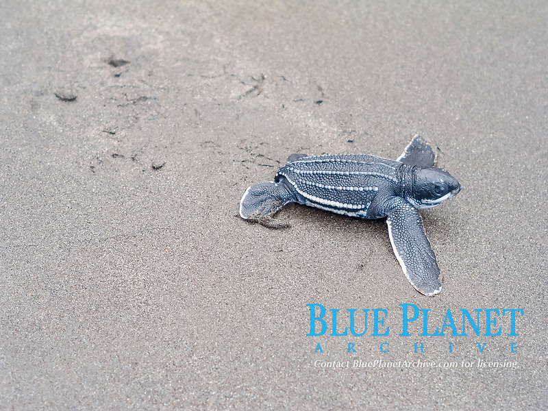 leatherback sea turtle, Dermochelys coriacea, hatchling, Rosalie, Commonwealth of Dominica, Dominica, Caribbean Sea, Atlantic Ocean