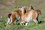 Adult male guanacos (Lama guanicoe) fighting. Trying to over power opponent and bite each others testicles. Torres del Paine National Park, Patagonia, Chile.