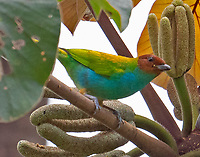 Bay-headed tanager
