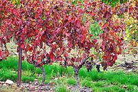 Domaine Haut-Lirou in St Jean de Cuculles. Pic St Loup. Languedoc. France. Europe. Vineyard.