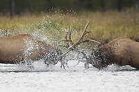 Elk, Wapiti, Cervus elaphus, bulls fighting in river,  Yellowstone NP,Wyoming, USA