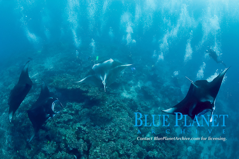 divers observe reef manta rays, Mobula alfredi, at cleaning station on coral reef, Manta Point, Lankan, North Male Atoll, Maldives, Indian Ocean