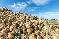 Freshly lfted onions - Lincolnshire, August