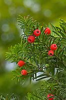 Gewöhnliche Eibe, Früchte, Frucht, Beeren, Taxus baccata, European yew, Common yew, fruit, If commun
