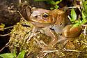Frog {Boophis sp.} on rainforest floor, Andasibe-Mantadia National Park, Eastern Madagascar.