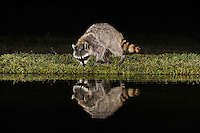 Northern Raccoon (Procyon lotor), adult at night at pond, Dinero, Lake Corpus Christi, South Texas, USA