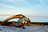 Polar Bear (Ursus maritimus) among remains of bowhead whale.  Alaska.  Oct.