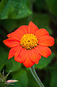 Tithonia speciosa 'Torch', mid August. Commonly known as Mexican sunflower. Sometimes also Tithonia rotundiflora and Tithonia rotundifolia.