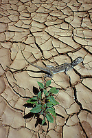 Environment, a lizard on cracked earth seeking shade at a small plant