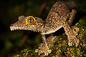 Leaf-tailed gecko {Uroplatus sikorae} on mossy tree trunk in rainforest. Masoala Peninsula National Park, north east Madagascar.