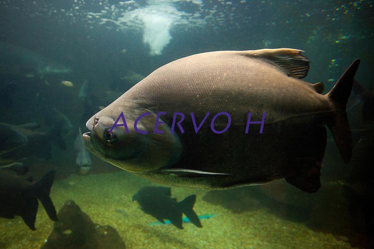 Tambaquis em aquário.<br /> Tambaqui _ (Colossoma macropomum), também chamado de Pacu Vermelho, é um peixe de escamas com corpo romboidal, nadadeira adiposa curta com raios na extremidade; dentes molariformes e rastros branquiais longos e numerosos. Boca prognata pequena e forte com dentes molariformes. A coloração geralmente é parda na metade superior e preta na metade inferior do corpo, mas pode variar para mais clara ou mais escura dependendo da cor da água. Os alevinos são cinza claro com manchas escuras espalhadas na metade superior do corpo. O tambaqui alcança cerca de 110cm de comprimento total. Antigamente eram capturados exemplares com até 45 quilos. Hoje, por causa da sobre-pesca, praticamente não existem indivíduos desse porte. Peixe comum encontrado na bacia amazônica e do qual se aproveitam a saborosíssima carne e o óleo.<br /> É uma espécie que realiza migrações reprodutivas, tróficas e de dispersão. Durante a época de cheia entra na mata inundada, onde se alimenta de frutos ou sementes. Durante a seca, os indivíduos jovens ficam nos lagos de várzea onde se alimentam de zooplâncton e os adultos migram para os rios de águas barrentas para desovar. Na época de desova não se alimentam, vivendo da gordura que acumularam durante a época cheia.<br /> Fonte: <br /> Natal, Rio Grande do Norte, Brasil.<br /> Foto Paulo Santos.<br /> 12/2014