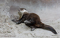 0508-1012  Cape Clawless Otter (African Clawless Otter or Groot Otter), Aonyx capensis capensis  © David Kuhn/Dwight Kuhn Photography.
