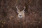 Whitetail buck in brush in Montana