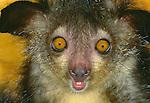 Portrait of an aye-aye, Madagascar