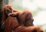 Sumatran orangutan with infant. (captive)