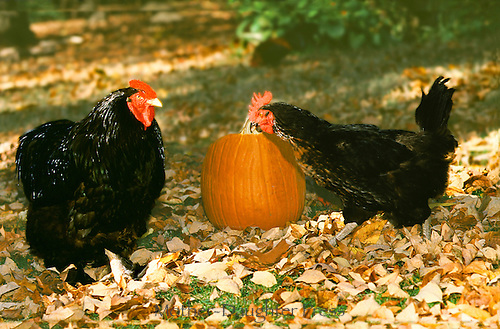 Black hens with a pumpkin