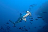 big scalloped hammerhead shark from underneath, belly of a shark, Cocos Island, Bajo Alcyone, Costa Rica, Sphyrnidae, Sphyrna lewini