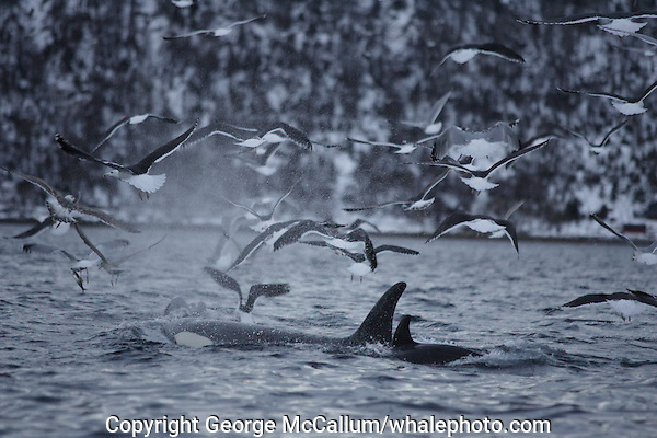 Killer whales, Orcinus orca, Female Carousel feeding on herring with gulls in a feeding frenzy. Stefjorden, Arctic Norway