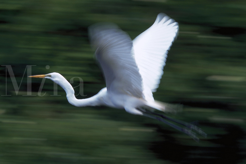 Great Egret in flight, Florida