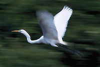 Great Egret in flight, Florida